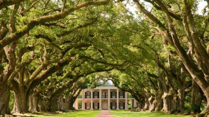 oak-plantation